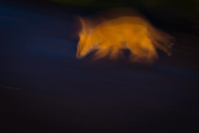 Fox cub at night