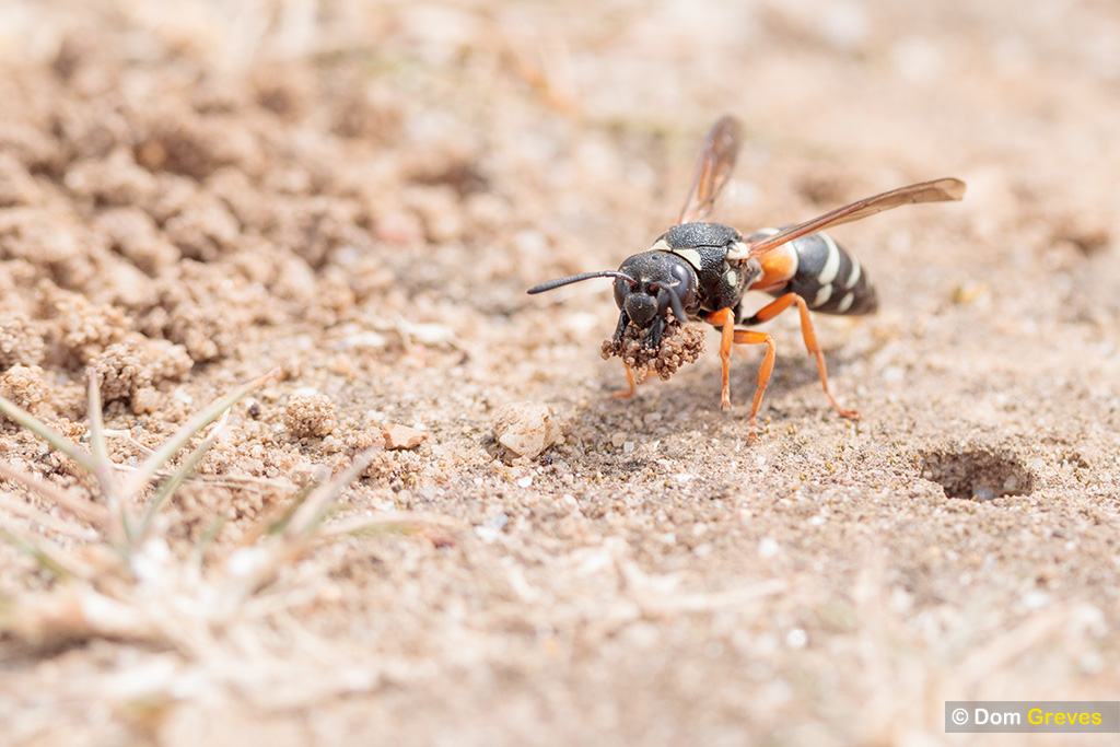 Wasp with excavated soil