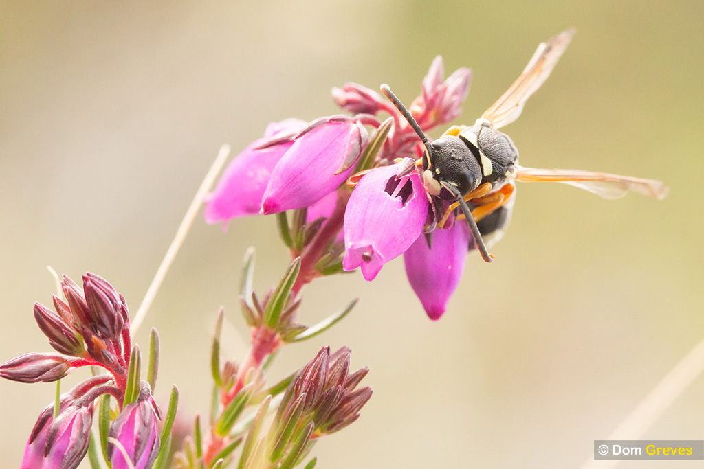 Wasp drinking from heather