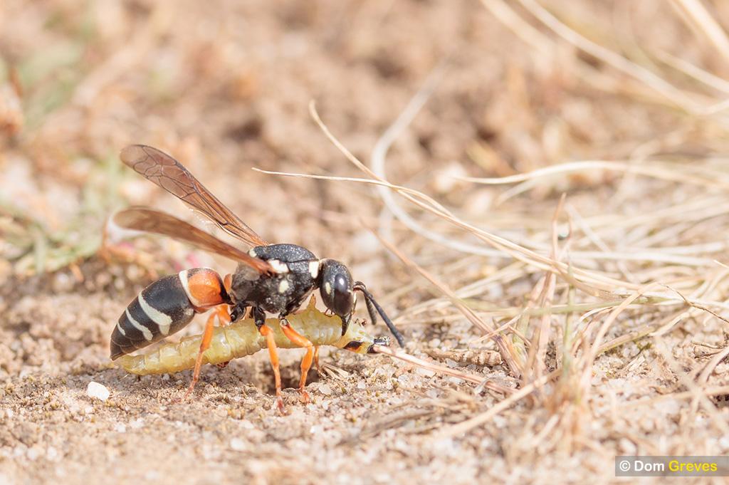 Purbeck mason wasp: prey